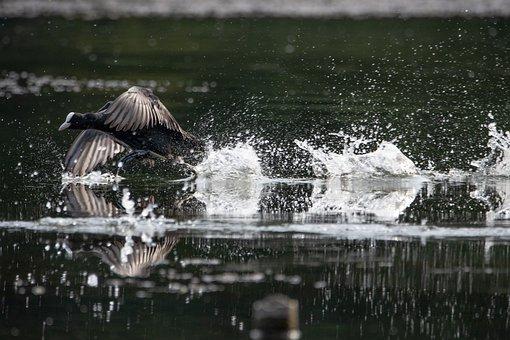 Coot, Lake, Wing, Argue, Water Running, Wildfowl, Bird
