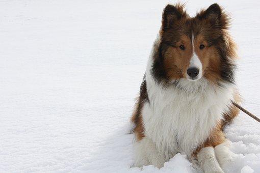 Dog, Canine, Shetland, Animal, Cute, Doggie, Companion