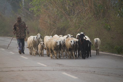 Sheep, Herd, Shepherd, Animals, Walking, Street, Goat