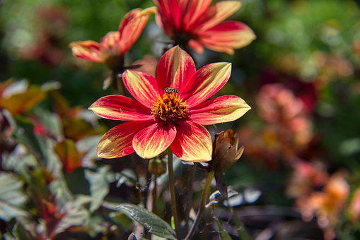 Dahlia, Bloom, Flower, Blossom, Composites, Red, Yellow