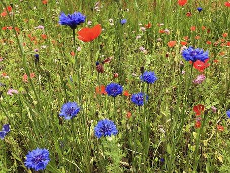 Cornflowers, Poppies, Flowers, Flower Meadow, Blue