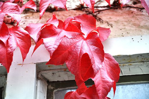 Autumn, Plant, Red, Autumn Colours, Bright