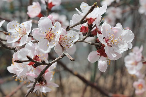 Cherry Blossoms, Cherry Blossom, Early Spring