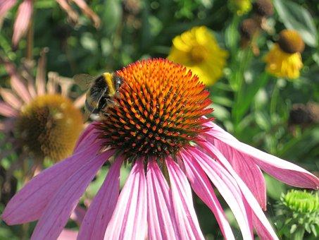 Coneflower, Plant, Echinacea, Flower, Bee, Blossom