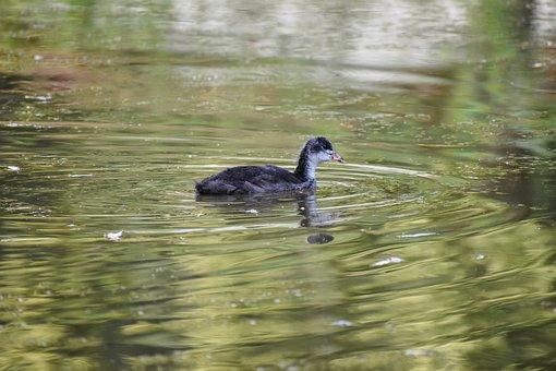 Coot, Chicken, Waterfowl, Schwimmvogel, Lake, Young