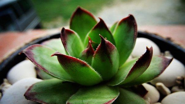 Succulent, Houseleek, Dachwurz, Plant