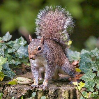 Squirrel, Eastern Gray Squirrel, Tree Squirrel, Ivy