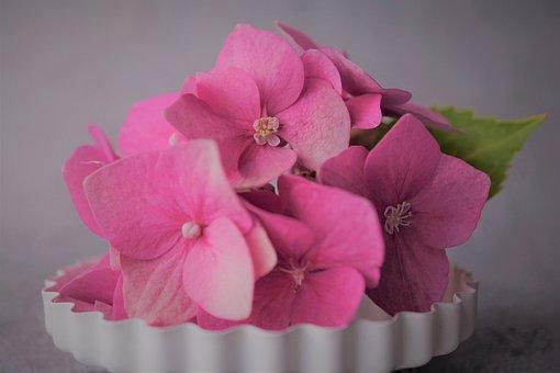 Pink, Flower, Plant, Hydrangea, Hydrangea Flower