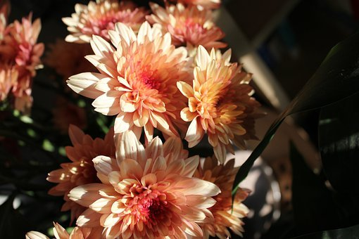 Chrysanthemum, Light And Shadow, Flower, Petals