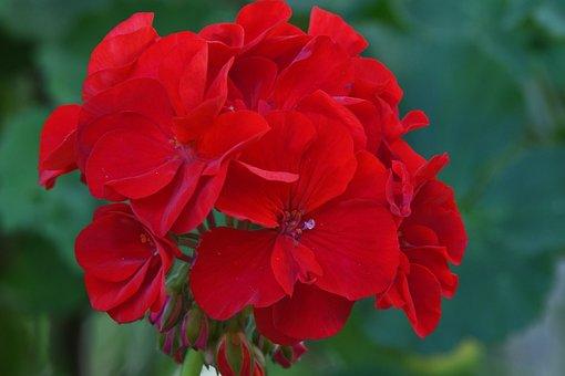 Flower, Red, Geranium, Petals, Garden