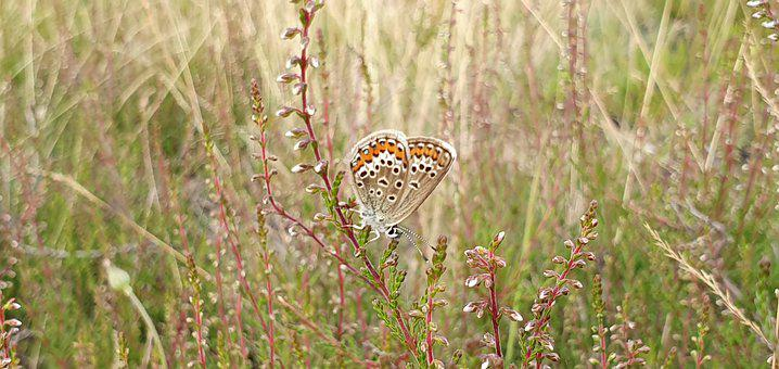 Butterfly, Heide, Summer, Wing, Grass-heath