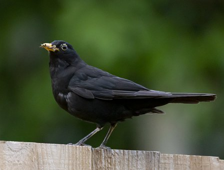 Blackbird, Bird, Animal, Male Uk Blackbird