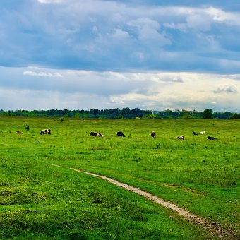 Cow, Field, Bull, Animal, Grass, Livestock, Nature