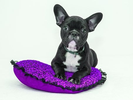 Lab Puppy, Nature, Purple Pillow, Pillow, Flowers, Dog