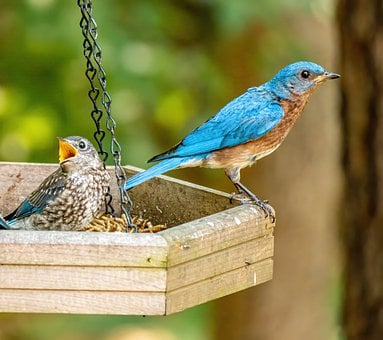 Bird, Nest, Fledgling Bluebird And Father