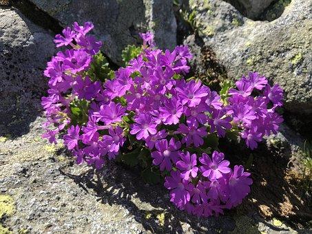 Primrose, Flowers, Cugn, Alps