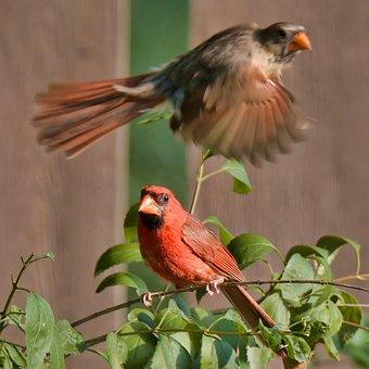 Cardinal, Red Cardinal, Northern Cardinal