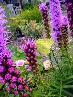 Schmetterling, Insekt, Sommer, Gelb, Violett, Garten