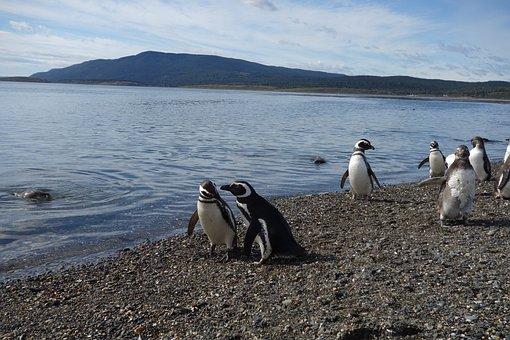 Penguins, Mountain, Sea, Argentina, Patagonia, Nature