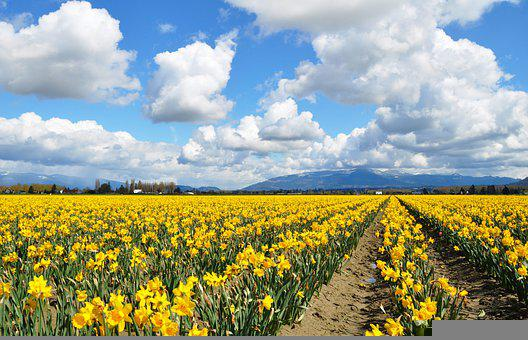 Daffodils, Yellow, Daffodil, Spring, Nature, Sky