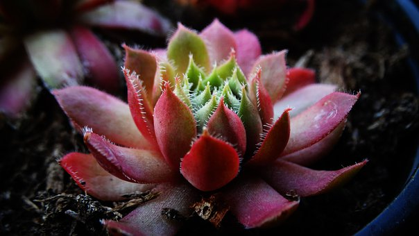 Succulent, Houseleek, Thick Sheet Greenhouse, Close Up