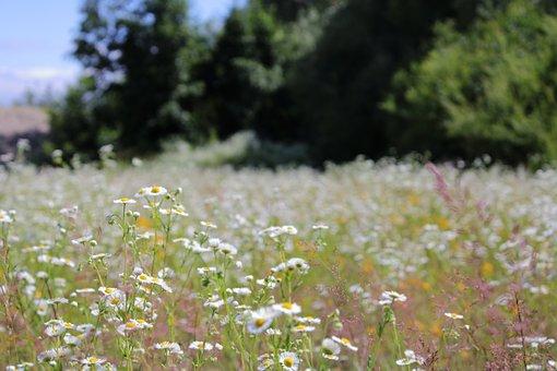Wildflower Meadow, Flowers, Blooming, Spring, Summer
