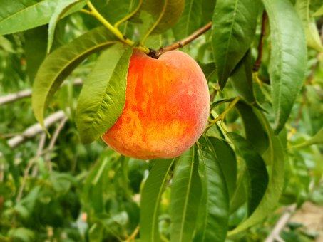 Peach, Fruit, Delicious, Sweet, Tasty