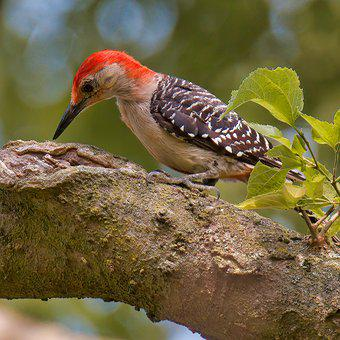 Woodpecker, Red-bellied Woodpecker, Tree, Bough, Bird