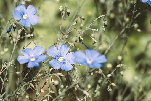 Flower, Lein, Staudenlein, Blue Flax, Blue, White