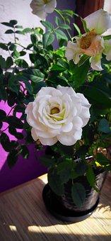 Rose, White Rose, Flowers, White, Petal, White Flower