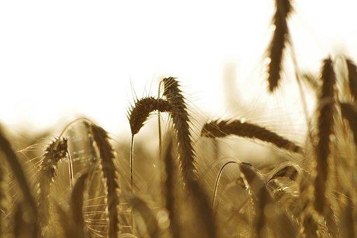 Wheat, Wheat Field, Grain, Barley, Agriculture
