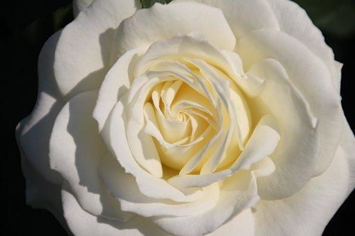 Rose, White, Bloom, Flower