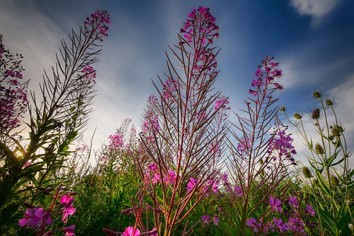 Wild Flower, Nature, Meadow, Pasture, Plant, Blossom