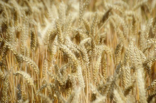 Wheat, Cereals, Agriculture, Spikes, Summer, Nature