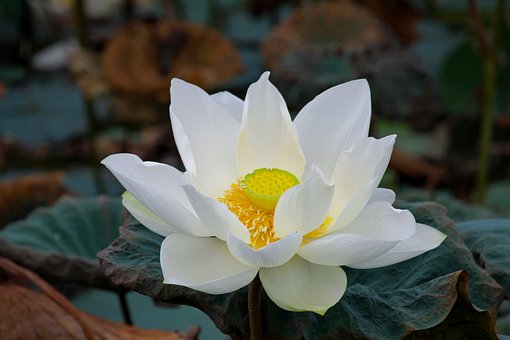 White Lotus, English Lotus, White, Green, Buddhism