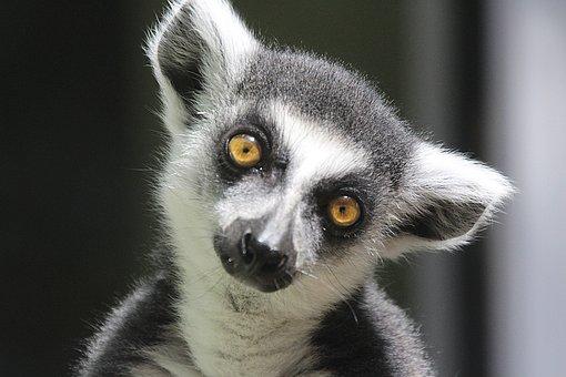 Kappa, Animal, Portrait, Funny, Eyes, Madagascar
