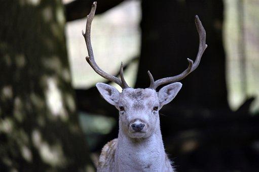 Deer, Fauna, Nature, Wild, Mammals