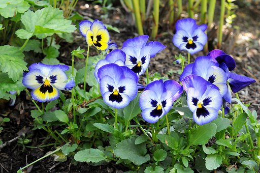Pansies, Flower, Garden, Violet, Plant, Nature, Bloom