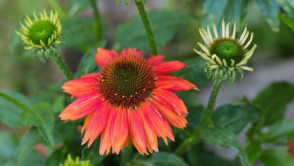 Blossom, Bloom, Flower, Plant, Summer, Flora, Garden