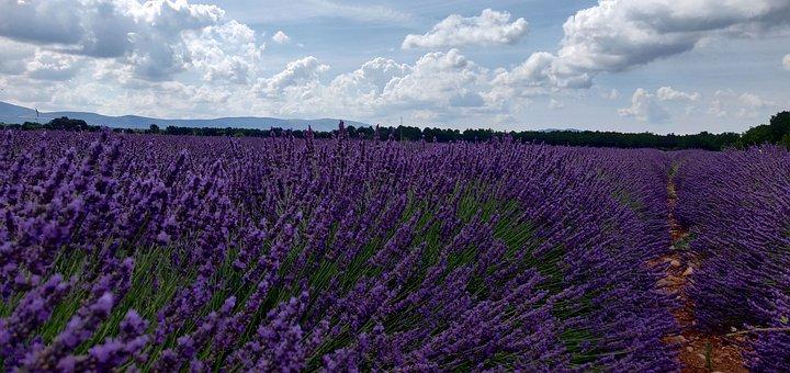 Lavender, Landscape, Violet, Flower, Provence, France