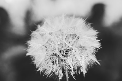 Flowers, Dandelion, Withered, Plant, Natur, Faded