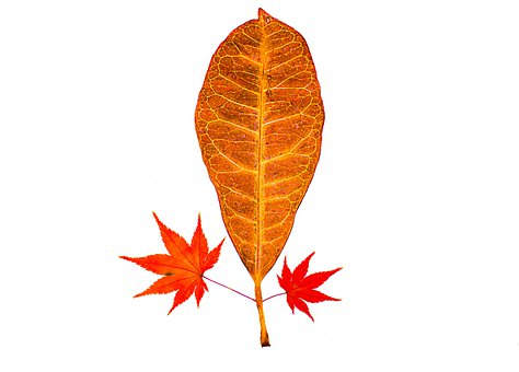 Autumn Leaves, Leaves, Leaf, Autumn, Nature, Forest