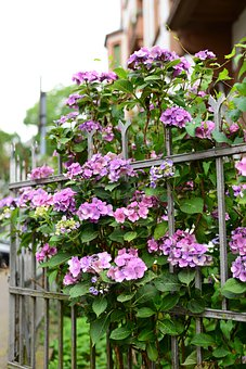 Flowers, Plants, Garden, Hydrangeas, Ornamental Shrub