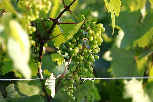 Grapes, Vine, Grapevine, Wine, Vines, Agriculture