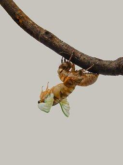 Ecology, Insect, Bear Cicada, Cicada, Natural