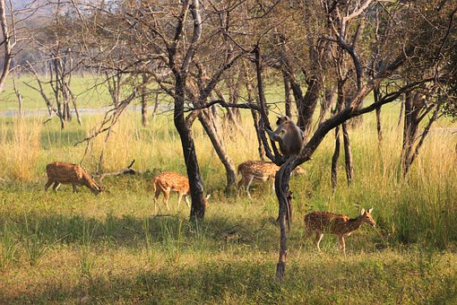 Deer, Langur, Monkey, Wildlife, Forest, Animal, Jungle