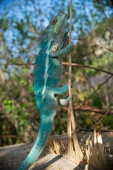 Chameleon, Reptile, Lizard, Insect Eater, Colorful