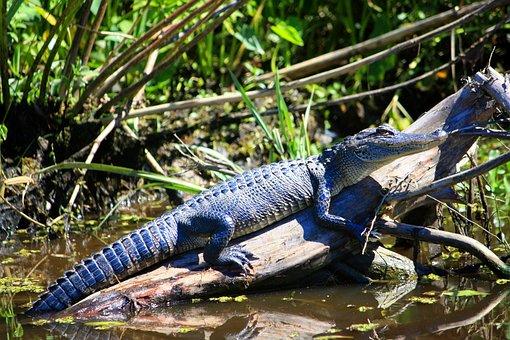 Alligator, Reptile, Wildlife, Louisiana, Swamp, Nature