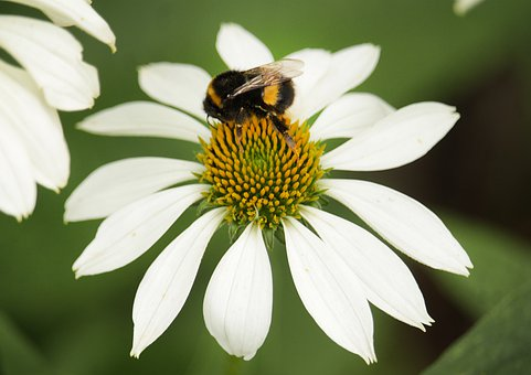 Daisy, Flower, Bumblebee, Chamomile, Nature, Bloom