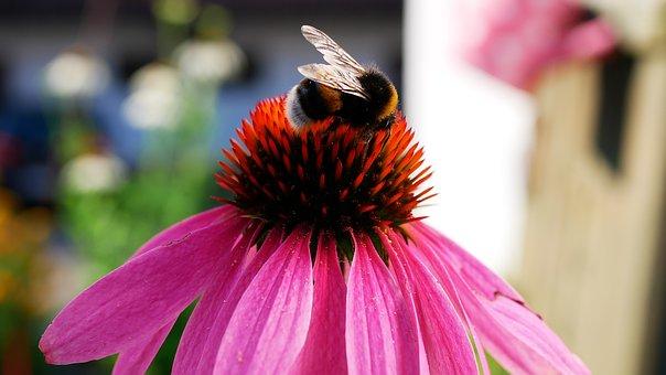 Hummel, Blossom, Bloom, Flora, Nature, Garden, Summer